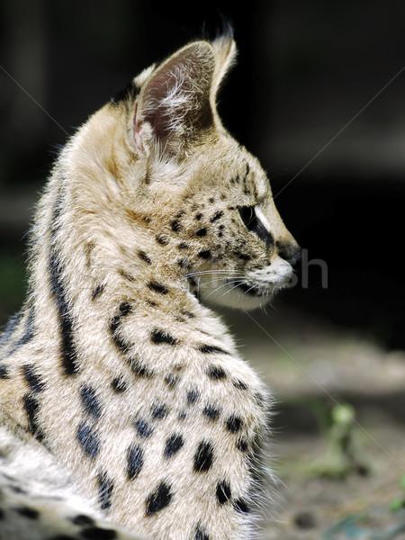 Portret profiel natuur kat haren hoofd Stockfoto © Musat
