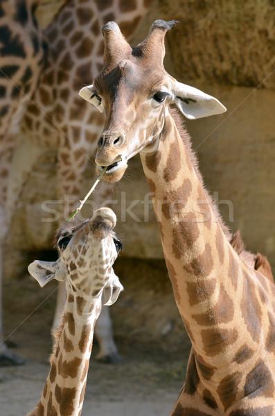 Girafe bébé herbe bouche portrait animaux Photo stock © Musat