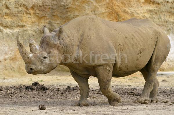 Black Rhinoceros Stock photo © Musat