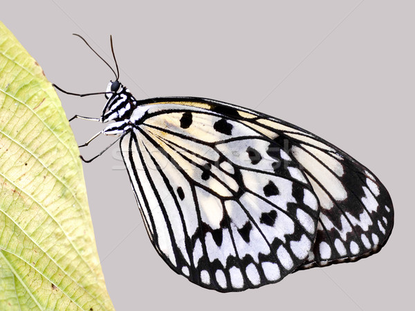 Isolated Paper kite butterfly Stock photo © Musat