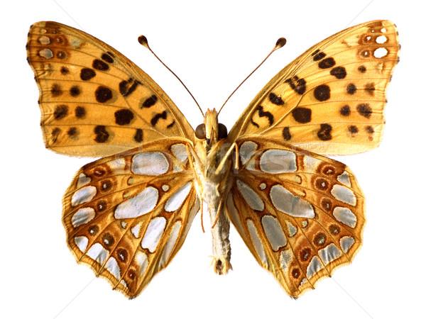 Isolé reine Espagne papillon vu oeil Photo stock © Musat