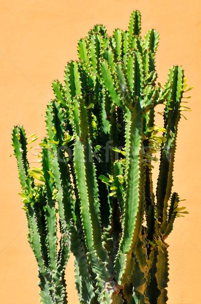 Cactus tenerife Geel groene Stockfoto © Musat