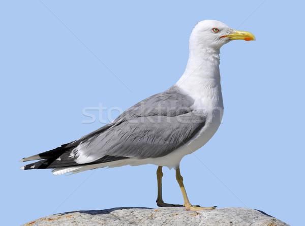 Isolated Yellow-legged Gull Stock photo © Musat
