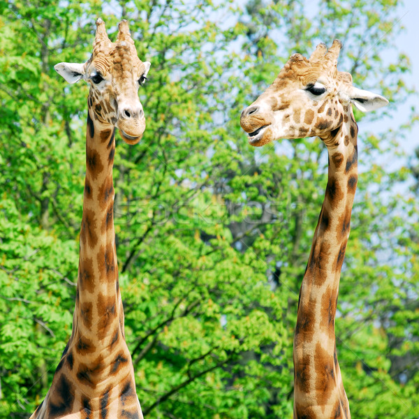 Two portraits of giraffes Stock photo © Musat