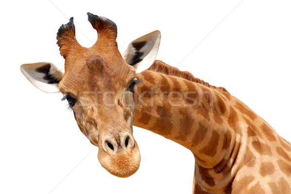 Isolated portrait of giraffe    Stock photo © Musat