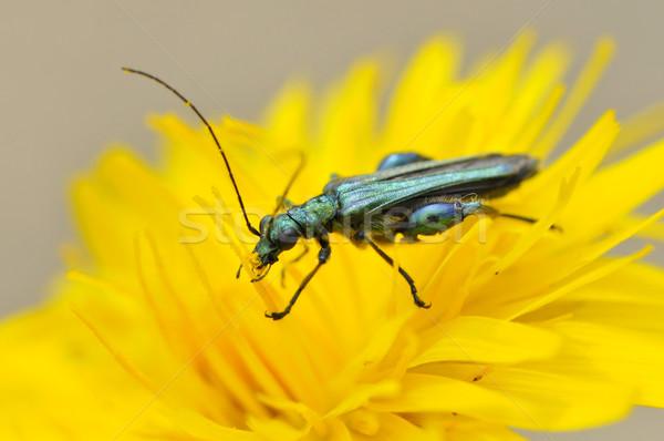 Ponderosa fleur jaune macro Homme oeil Photo stock © Musat