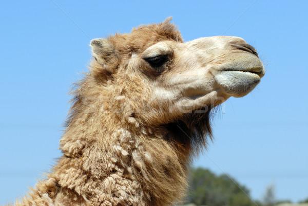 Hoofd kameel blauwe hemel haren woestijn dier Stockfoto © Musat