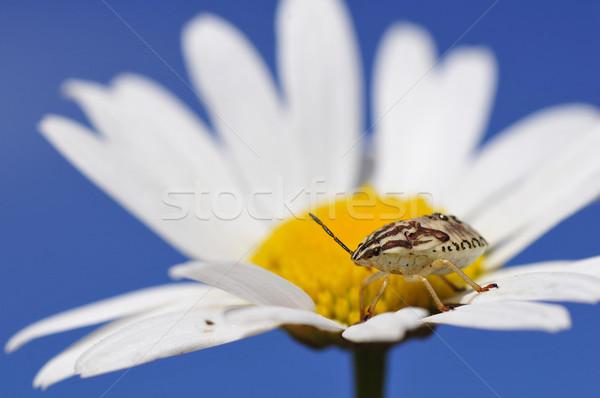Bug daisy hart blauwe hemel Blauw witte Stockfoto © Musat