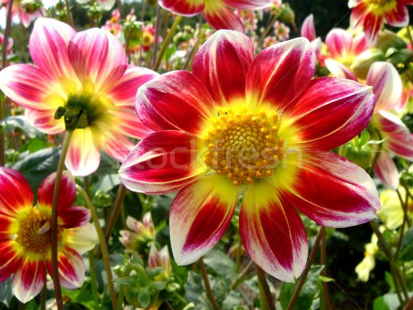 Dahlia bloem Rood Geel tuin Stockfoto © Musat