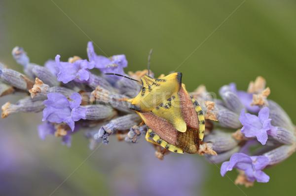 Bouclier bug fleur macro vert bleu Photo stock © Musat