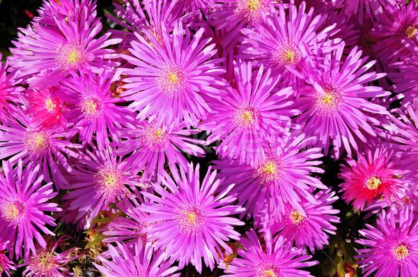 Purple daisies Stock photo © Musat