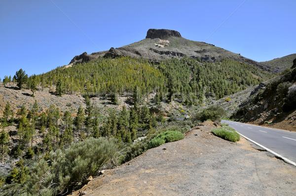Foto stock: Vulcânico · ilha · tenerife · pinho · floresta