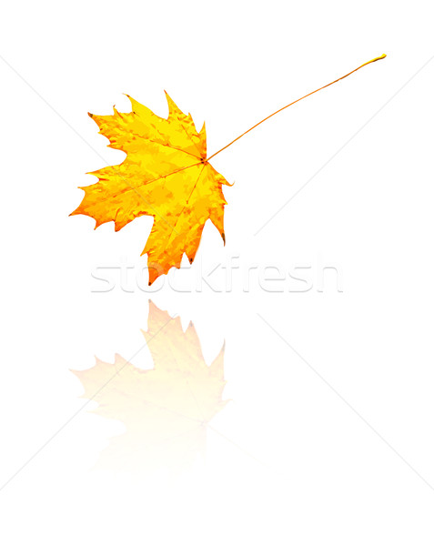 Maple Leaf желтый оранжевый цветами вектора дерево Сток-фото © muuraa