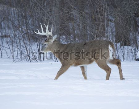 Big Ten Point buck eating corn Stock photo © mybaitshop