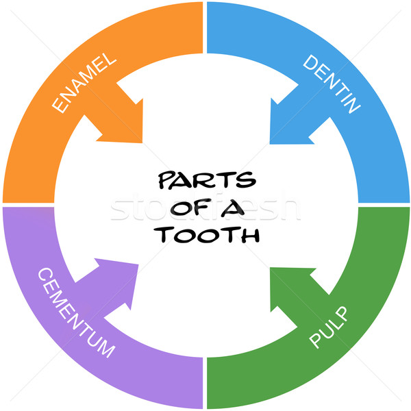 Parts of a Tooth Word Circle Concept scribbled Stock photo © mybaitshop