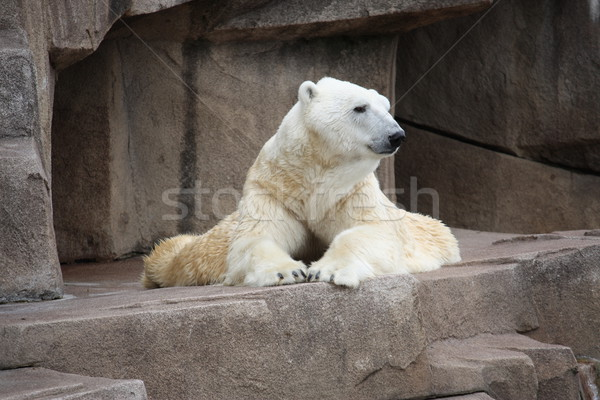 Polar bear laying down. Stock photo © mybaitshop