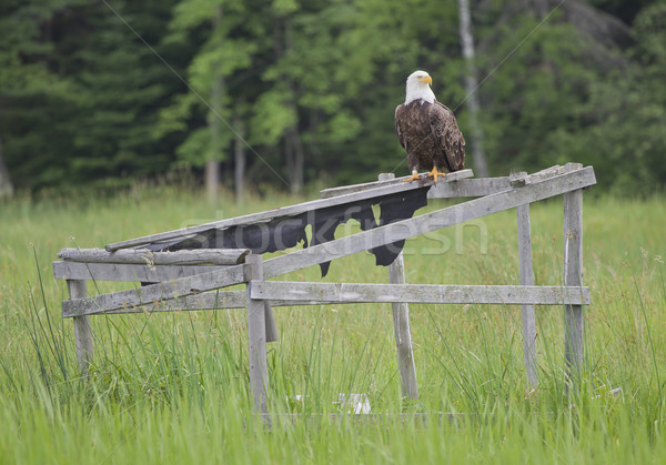Stock photo: A bald eagle sitting on an old duck blind