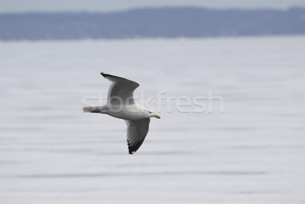 Gull Flying over Frozen Lake Stock photo © mybaitshop