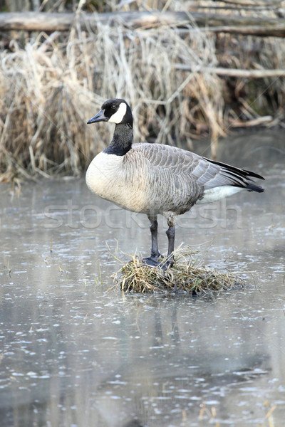 Canadian Goose standing on a bog in a swamp. Stock photo © mybaitshop