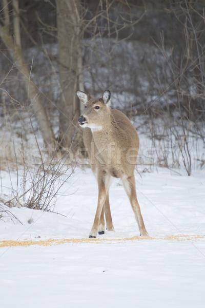 Doe Whitetail Deer at Corn Stock photo © mybaitshop