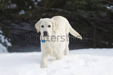 Rudy the Yellow Lab in the Falling Snow Stock photo © mybaitshop