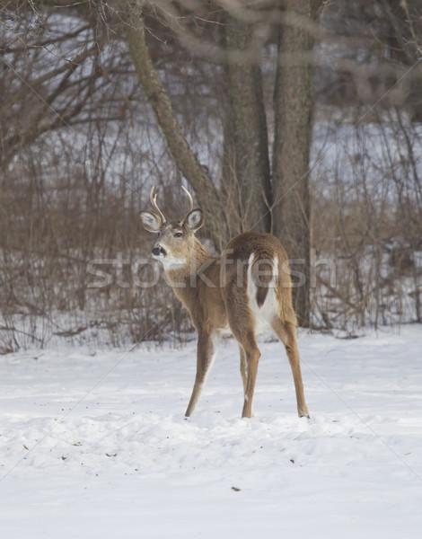 Three Point Buck Quartering View Stock photo © mybaitshop