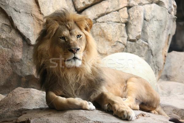 Majestic King of the Jungle Stock photo © mybaitshop