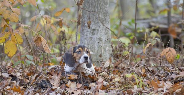 Beagle щенков листьев печально глазах Сток-фото © mybaitshop