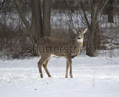 3  ポイント バック 鹿 立って 雪 ストックフォト © mybaitshop