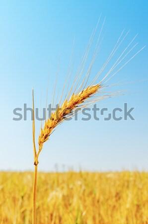 Mező arany árpa égbolt tájkép szépség Stock fotó © mycola