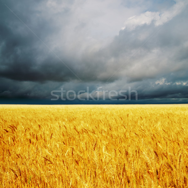 dark clouds over field with barley Stock photo © mycola