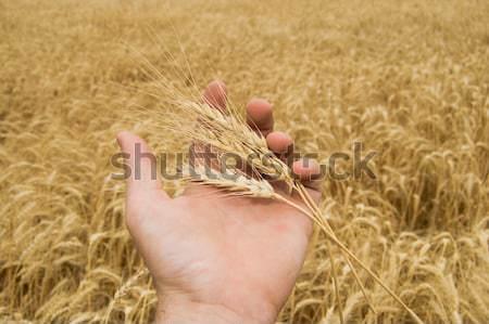 Stok fotoğraf: Altın · hasat · el · alan · gökyüzü · gıda
