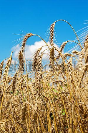 Olgun buğday kulaklar gökyüzü yumuşak Stok fotoğraf © mycola