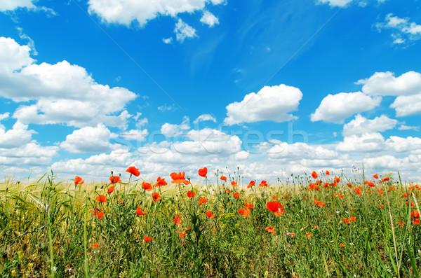 Rot Mohnblumen Bereich Wolken weichen Schwerpunkt Stock foto © mycola
