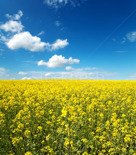 Flores Óleo campo blue sky nuvens Foto stock © mycola