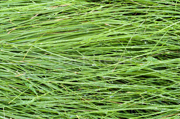 green grass after rain as background Stock photo © mycola