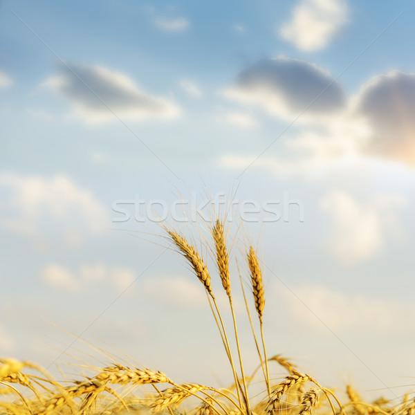 Puesta de sol dorado cosecha suave enfoque cielo Foto stock © mycola
