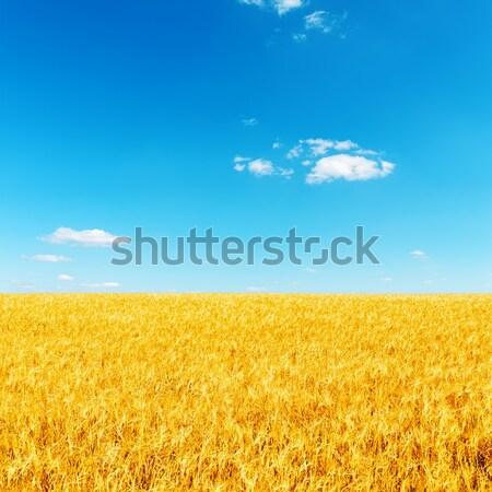 golden barley under deep blue sky Stock photo © mycola