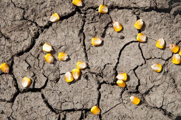 Magvak kukorica repedt Föld textúra fekete Stock fotó © mycola