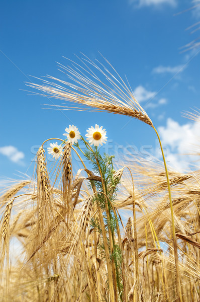 ears of wheat with chamomiles Stock photo © mycola