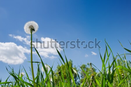 dandelion in green grass field and blue sky Stock photo © mycola