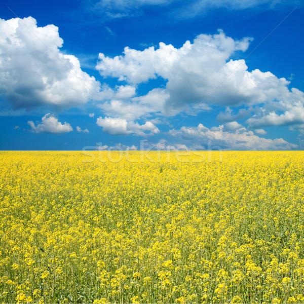 flower of oil rape Stock photo © mycola