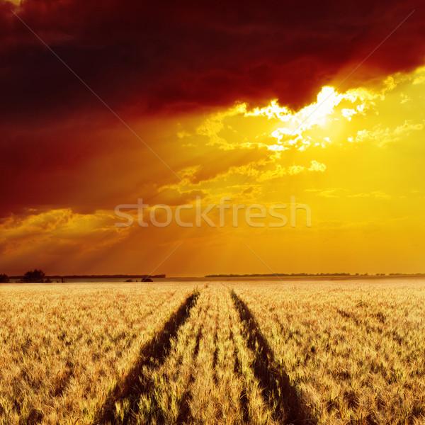 golden wheat field and sunset Stock photo © mycola