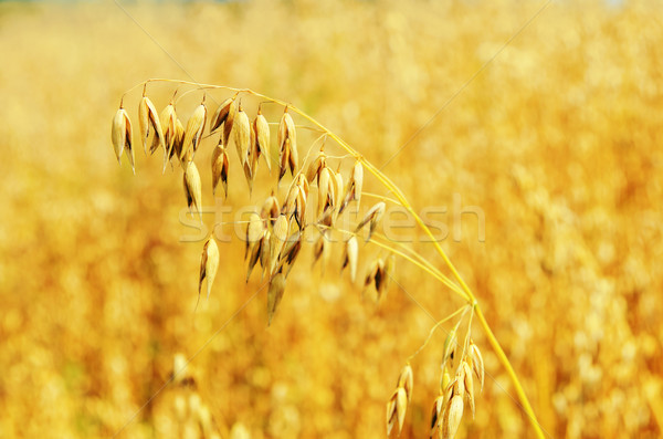 golden oat on field. soft focus Stock photo © mycola