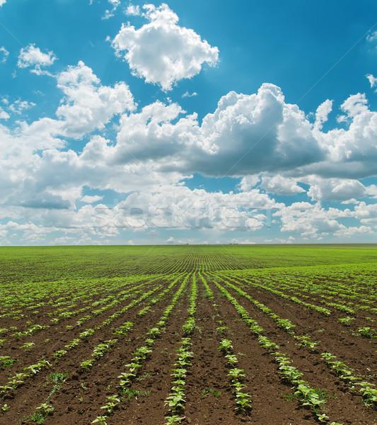 Primavera campo verde girassóis nublado céu Foto stock © mycola