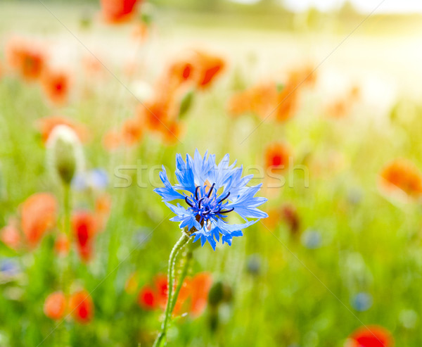 blue cornflowers and red poppy in nature meadow Stock photo © mycola