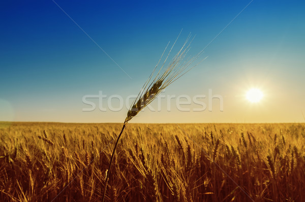 Stock photo: golden field with harvest and sunset