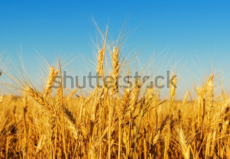 golden barley and blue sky Stock photo © mycola