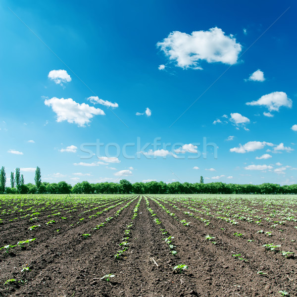 spring field and blue sky with clouds Stock photo © mycola
