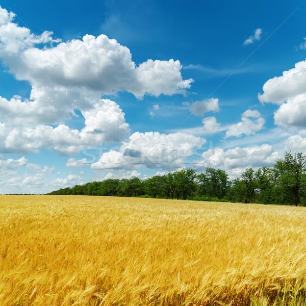 Dourado colheita nuvens blue sky natureza paisagem Foto stock © mycola